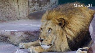 円山動物園のライオン、ブチハイエナ、サーバルキャットたち。 2014年6...