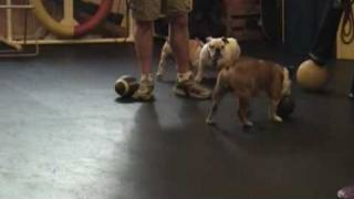 Chicago English Bulldog Rescue Puppy Wrinkles Training Class