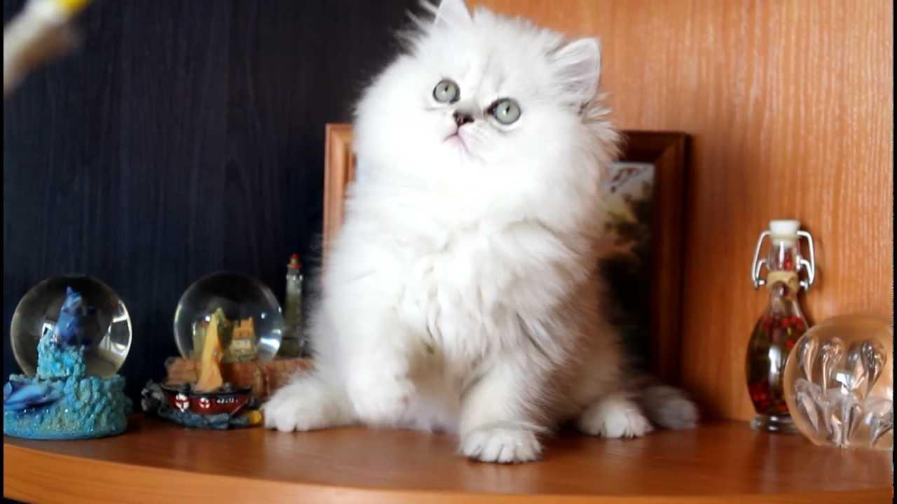 кошка персидская шиншилла фото