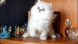 ПЕРСИДСКИЕ КОШКИ ШИНШИЛЛЫ, котята