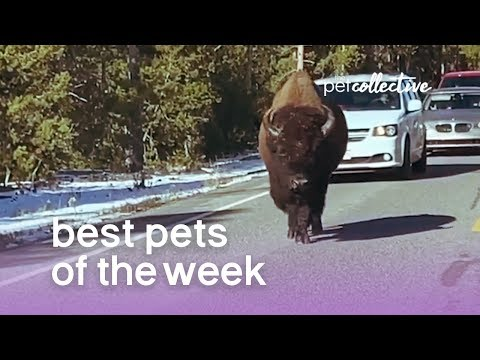 Best Pets of the Week - BUFF DUDE | The Pet Collective