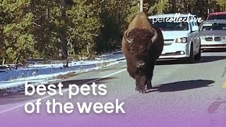 Best Pets of the Week  BUFF DUDE | The Pet Collective