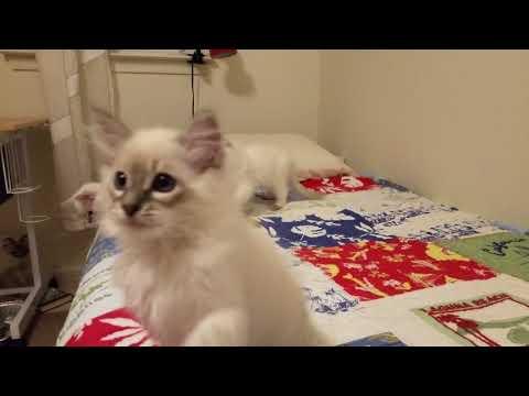 Tigertails TICA kittens August 2018