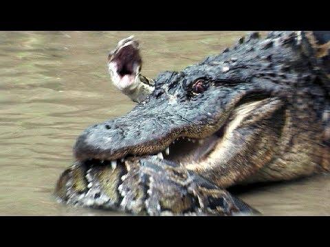 Python vs Alligator 13 - Real Fight - Python attacks Alligator