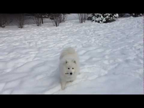Samoyed Lucy Playing in the Snow