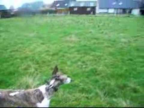 whippet runs with greyhound