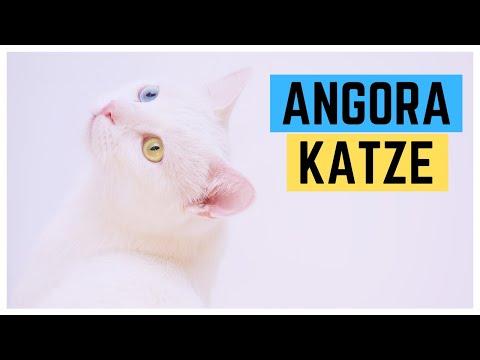 TÜRKISCH ANGORA KATZE | Charakter und Haltung | Rasseportrait
