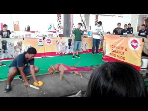 American Pitbull,  Bulldog contest Bandung paths of Glory