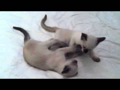 My Siamese Kittens Playing on My Bed