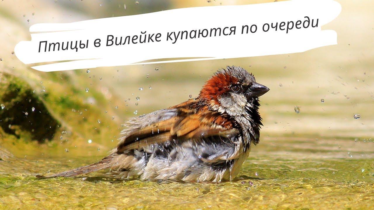 В очередь! Птицы принимают ванну в Вилейке