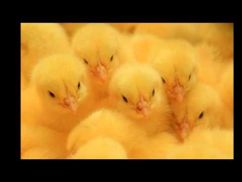 Цыпленок жареный (аккорды)