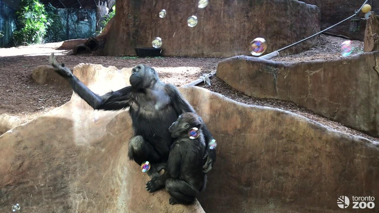 Western Lowland Gorillas Enjoy Bubble Enrichment