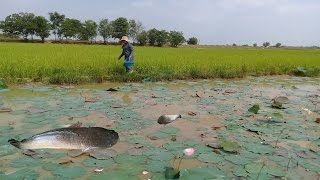 Wow ! Beautiful Girl Catch fish and Snail on rice field - Traditional Fishing Videos in cambodia