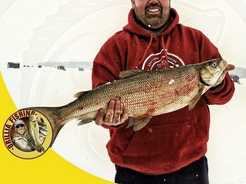 Fishing BIG Whitefish at Bear Point Fish Hut Rentals on Like Simcoe February 10 2018