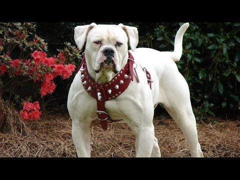 AMERICAN BULLDOG STRONG AND ACTIVE DOG