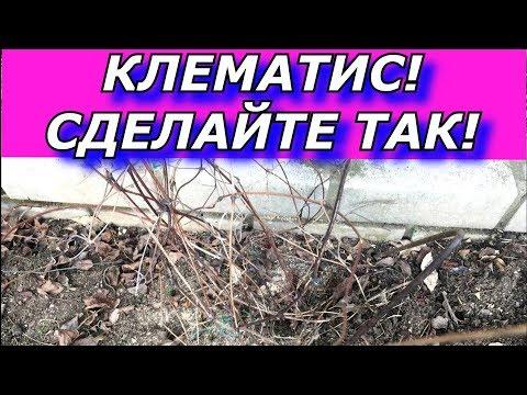 Клематис плохо цветет. ВЕСНОЙ СДЕЛАЙТЕ - ТАК !!!
