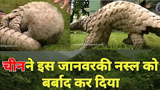 Pangolin in India | Gir forest national park | Forest habitat | Tourism in Gujarat | Junglee video