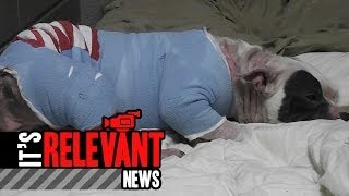 Bull Terrier Still Recovering After Doghouse Fire