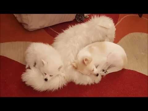 German spitz Sani & her babies - Cuteness overload