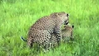 Gambar cover Leoparden Sex