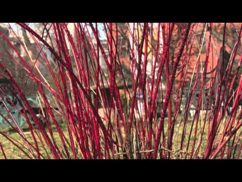 Fast Growing Red Twig Dogwood
