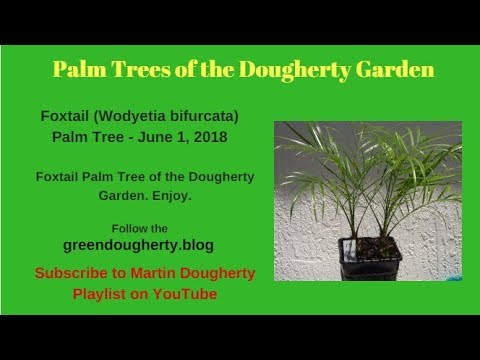 Pygmy Date (Phoenix Roebelenii) Palm Tree (15) -  From Seed to Mature Palm Tree - Dougherty Garden