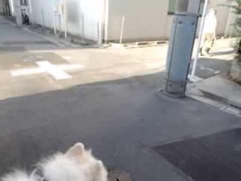 サモエド クローカ 「大将ビックリ!」 (samoyed kloka)