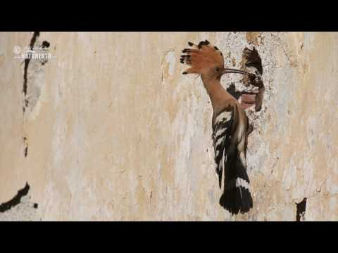 Dudek chocholatý (Upupa epops)
