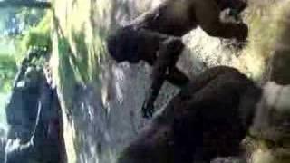 Gorilla Sex. Funny stuff filmed at Disney Animal Kingdom
