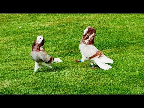 Altholländische Kapuziner Tauben Rotfahl / old dutch capuchine / capucin Hollandaise pigeons