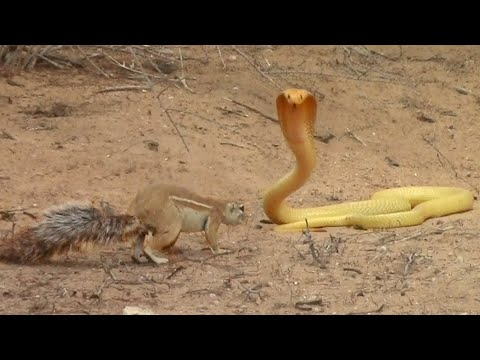 Squirrel Battles Cobra to Protect Her Babies