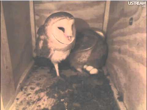 "Sydney and Mel, Oceanside CA, lovely barn owl couple with 3 eggs and ""making"" the 4th"
