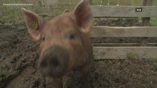 'Swine' solution for food waste in schools