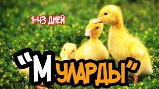 Будни Фермера. Утки породы Мулард. 1 - 43 день. / Mallard ducks