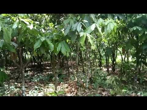 Cocoa spacing system