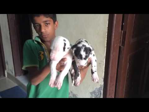 Harley Quin Greatdane Blue Colour 9999039993 Puppies For Sale In