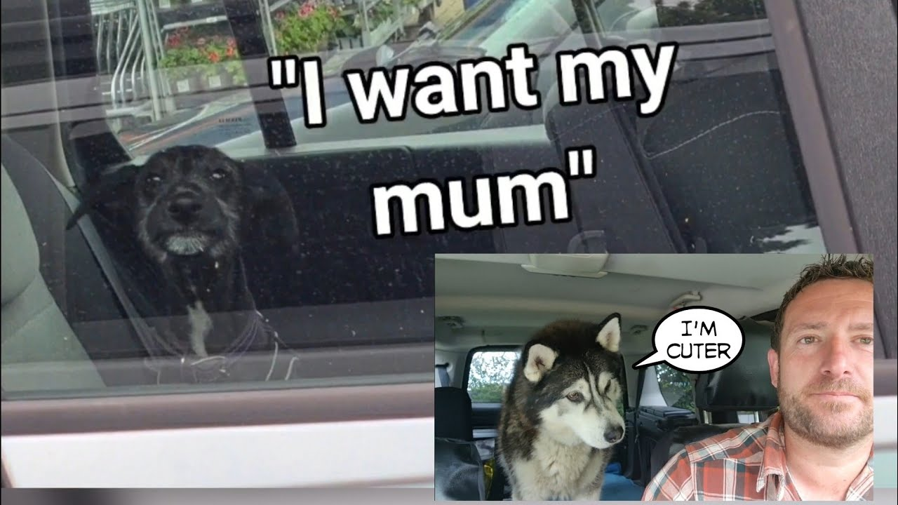 Cutest Dog cries for its Mummy but Sherpa disagrees