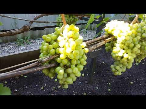 Вопрос: Почему вянут гроздья винограда?