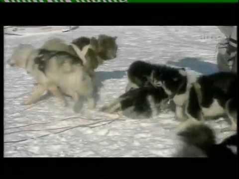 WOLVES VS HUMANS & SLED-DOGS
