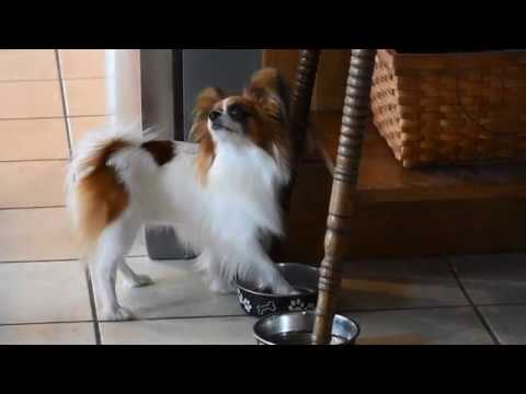 Percy the Papillon Dog: How to Train Your Person
