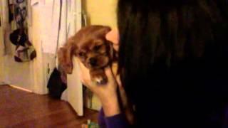 Ollie- 8 Week Old Cavalier King Charles Spaniel Ruby Puppy
