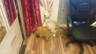 Сиамский кот издевается пока маленький ЧАУ ЧАУ спит