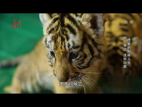 大叔养东北虎20年把老虎从小养到大,这小老虎太可爱了