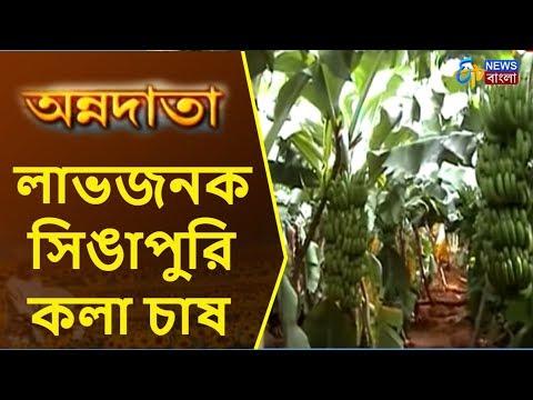 Annadata | লাভজনক সিঙাপুরি কলা চাষ | ETV News Bangla