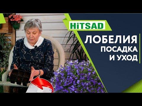 Прекрасная Лобелия 🌸 Посадка и Уход 🌸 Советы Садоводам от Хитсад ТВ