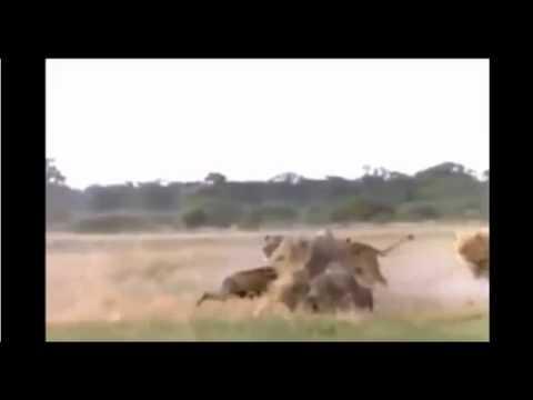 Les Attaques Animales Les Plus Impressionnantes !