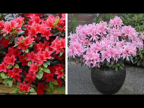 How To Plant Dwarf Rhododendrons Spring Garden Guide Youtube