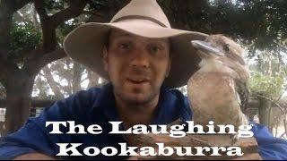 Meet Biscuit Our New Laughing Kookaburra