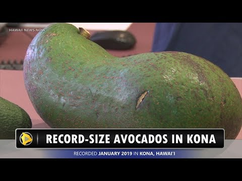 Ballard - New Record-Sized Avocado Grown