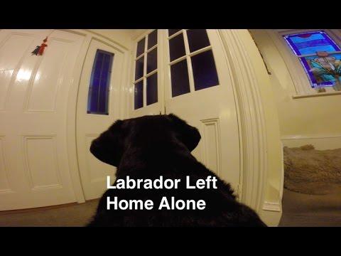 **Naughty** Black Labrador Home Alone, Her POV